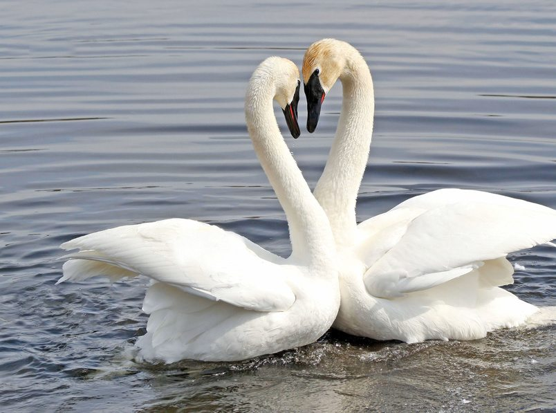 The Courtship Dance Of Two Trumpeter Swans